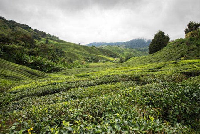 Les origines du thé